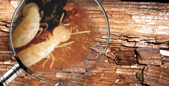 Comment fonctionne le Diagnostic Termites ?
